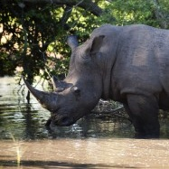 2010 Marks Highest Ever Rhino Killings in South Africa
