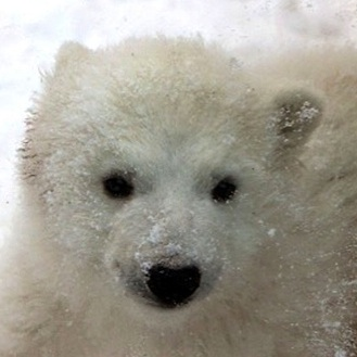 A Polar Bear Cub Plays in The Snow At The Aalborg Zoo