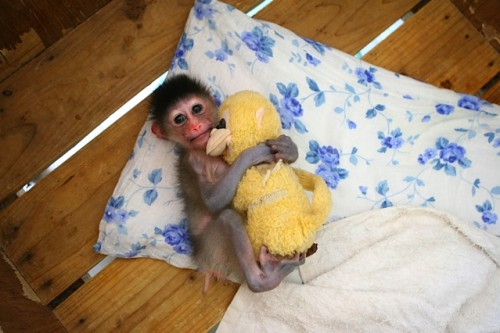 Baby Mandril cuddling his stuffed animal