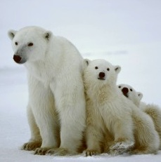 U.S. Proposal to Ban Cross-Border Polar Bear Trades Denied