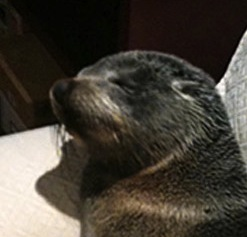 Seal Pup Finds its Way to a Homeowner's Couch!
