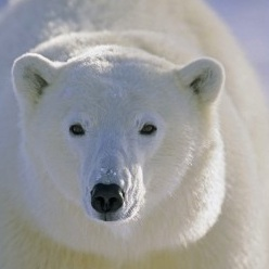 Polar Bear Numbers Rise in Canada