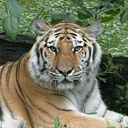 Man Jumps 20 Feet to Fall into the Tiger's Den at Bronx Zoo