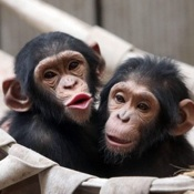 Two chimpanzees hug each other to keep warm at Qingdao Zoo {Photos}