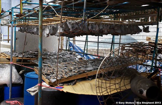 Gary Strokes Shark Fins Lay out to dry in Hong Kong