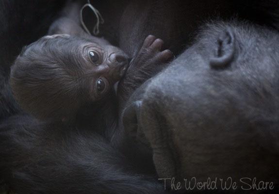Newborn Gorilla At Prague Zoo