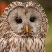 Researchers Discover the Mystery behind the Head-Turning Abilities of Owls