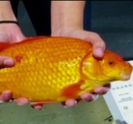 Scientists Concerned about 'Monster' Goldfish Pulled from Lake Tahoe Waters