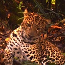 Video Captures Stunning Footage of Rare Javan Leopard