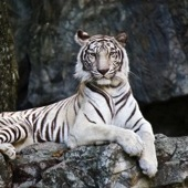 Why is the White Tiger White?