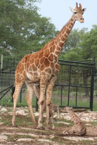 Wasswa, the female twin giraffe