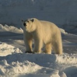 With Warming Climate Polar Bears more Vulnerable to Disease Pathogens