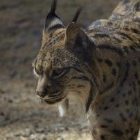 Breeding Program Helps The Iberian Lynx Spring from the Brink of Extinction