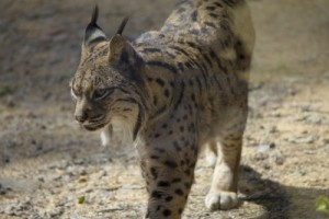 Breeding Program Helps The Iberian Lynx Spring from the Brink of Extinction