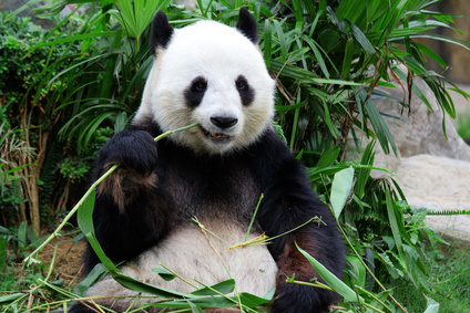 Study finds Giant Pandas have Better Chances of Survival than Other Rare Species