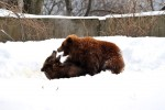 Brown bears playing at the Bronx Zoo