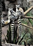 Ring tailed Lemurs seen at the Bronx Zoo
