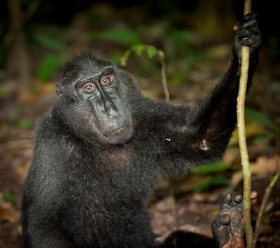 Black Macaque Indonesia