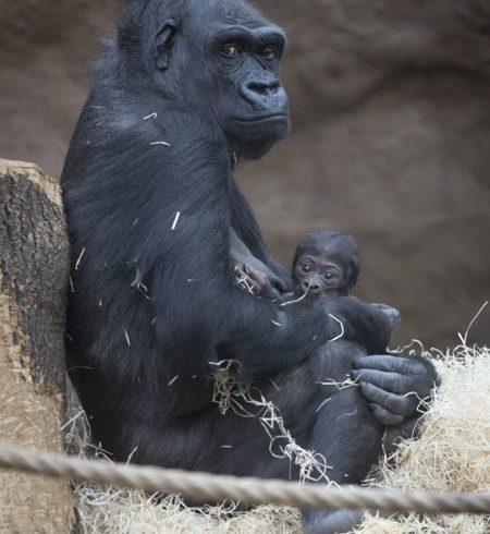 Prague Zoo Debuts Their New Baby Gorilla!