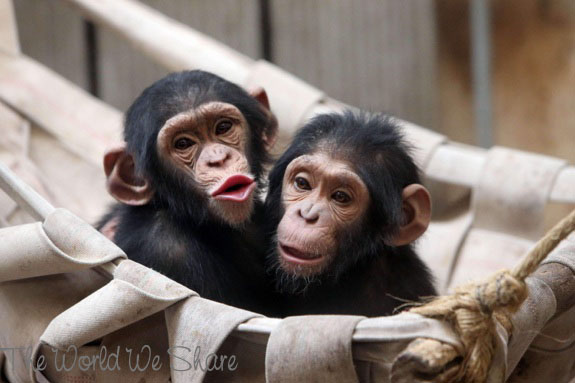 Two chimpanzees hug each other to keep warm at Qingdao Zoo