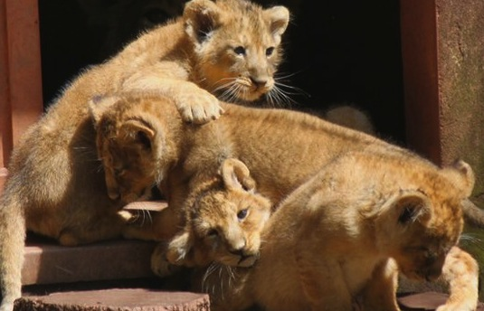 Endangered Asiatic Lion Cubs Born At UK Zoo