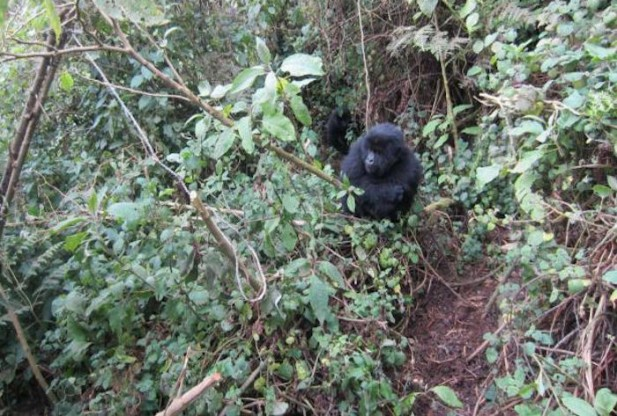 Young Gorillas Outsmart Poachers