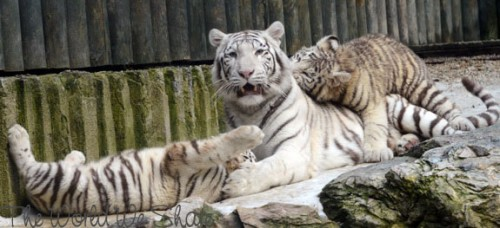 White Tiger Cubs In Liberec Zoo