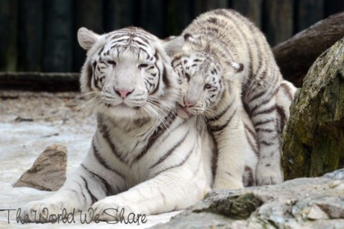 White Bengal Tiger Cubs Play At The Liberec Zoo