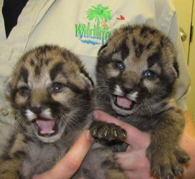 Baby Mountain Lions on Display at Arizona Zoo