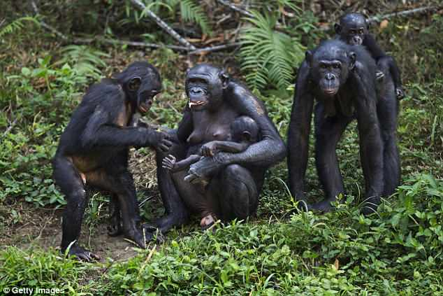 Chimpanzees give Birth like Humans