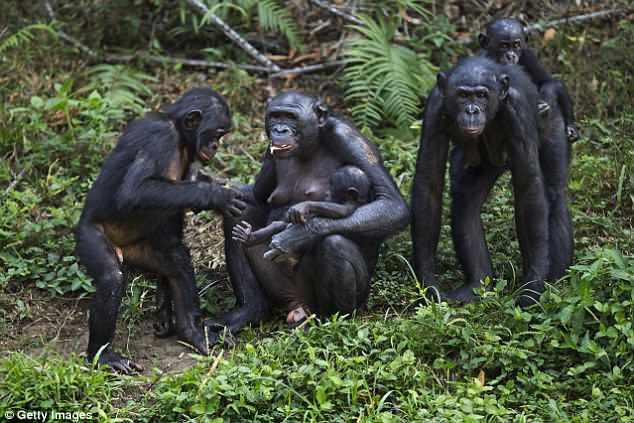 Chimpanzees give Birth like Humans