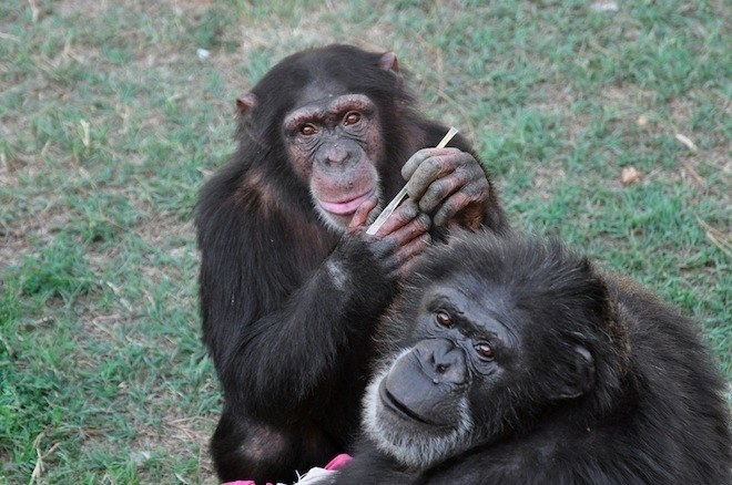Chimps get Pregnant even after Vasectomy