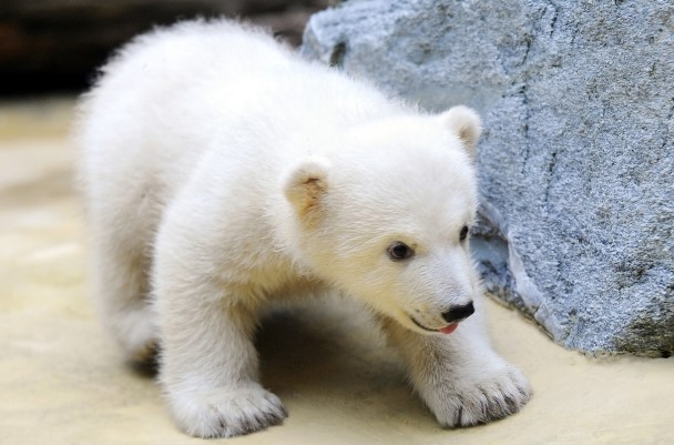 Polar Bear Cub Anori Makes Public Debut In Germany