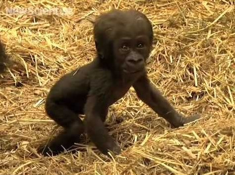 Tiny Gorilla Baby Arrives at Frankfurt Zoo