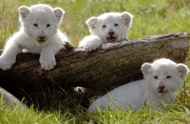 White Lion Babies Meet Tourists In Guangzhou Zoo