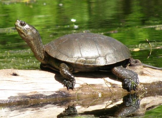 Turtle Thought To Be Extinct Found Wandering By The Roadside