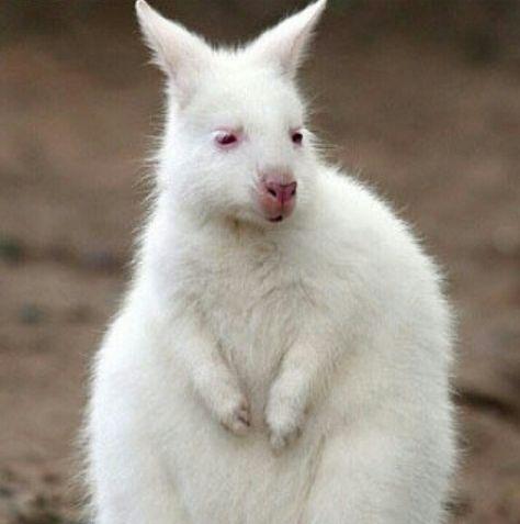 Albino Kangaroo Baby at Duisburg Zoo