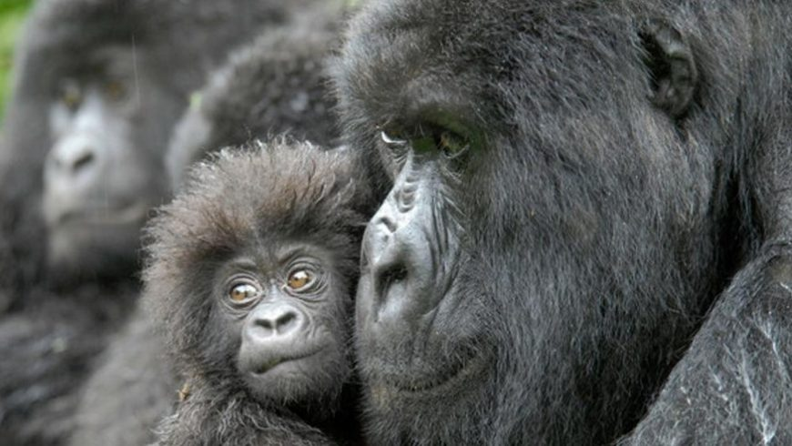 Conservation Groups Join Hands to Save World's Largest Gorillas