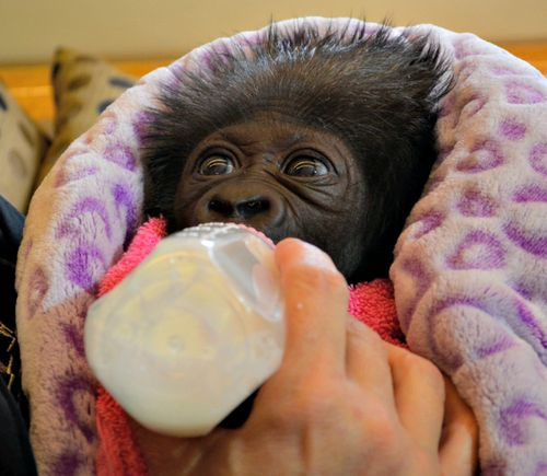 Baby Gorilla being Raised by 10 Human 'Moms'