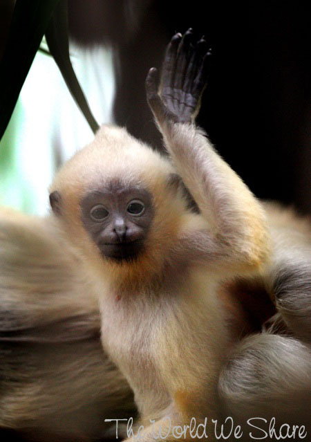 The Bronx Zoo Shows Off Their Newest Resident ~ An Adorable White-cheeked gibbon!