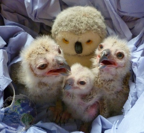 Turkmenian Eagle Owlets Hatch at The Linton Zoo!
