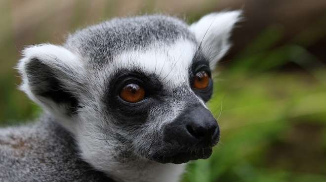 Loose Lemurs in Miami Beach Give Police Force the Run Around