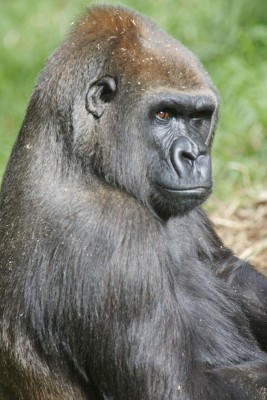 New Park Safeguards Future of Western Lowland Gorillas