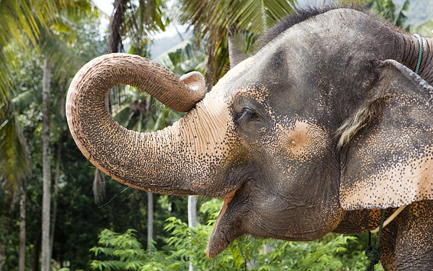 Jumbo Express: Saving Thailand's Elephants